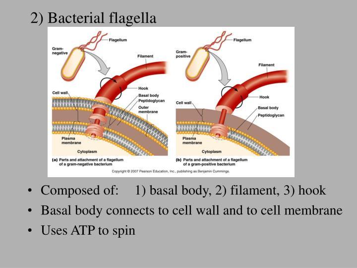 2) Bacterial flagella