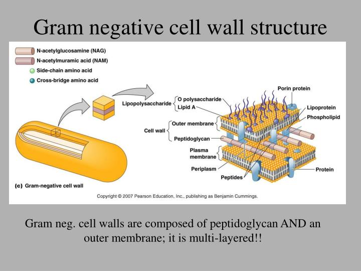 Gram negative cell wall structure