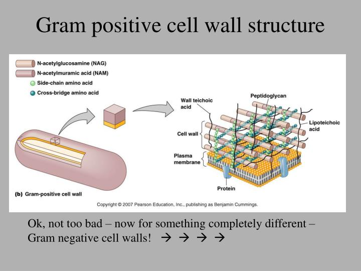 Gram positive cell wall structure