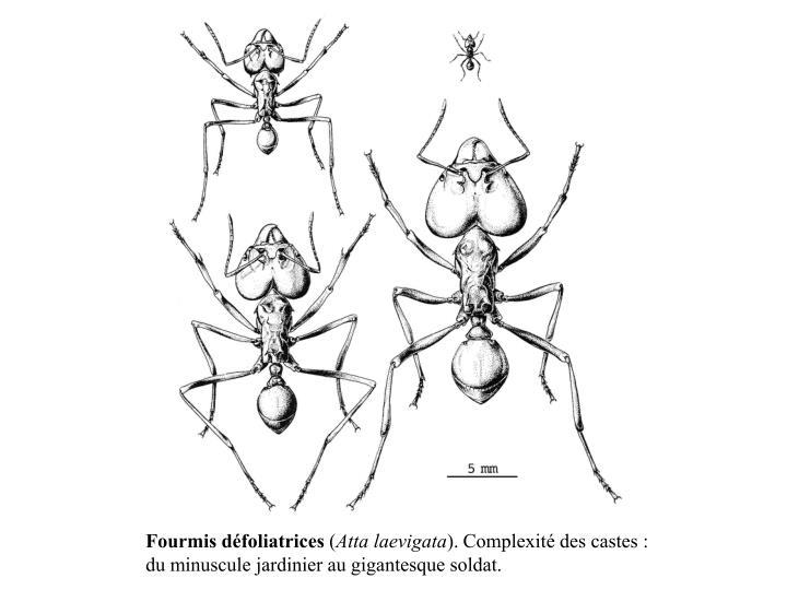 Fourmis défoliatrices