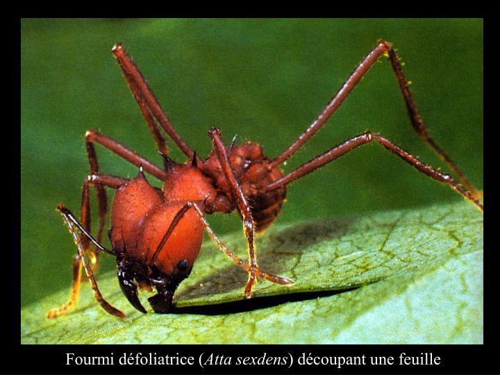 Fourmi défoliatrice (