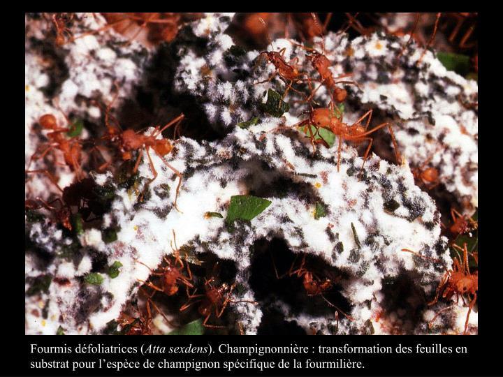 Fourmis défoliatrices (