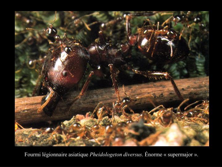 Fourmi légionnaire asiatique