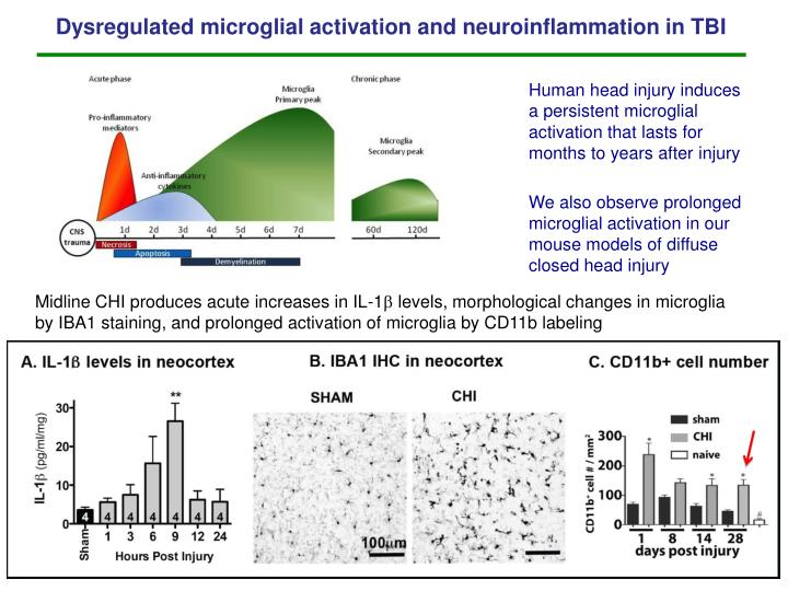 Dysregulated microglial activation and neuroinflammation in TBI