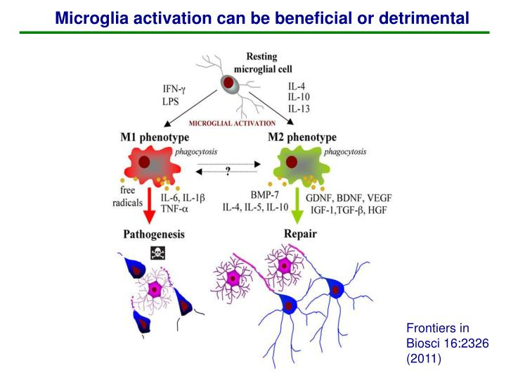 Microglia activation can be beneficial or detrimental