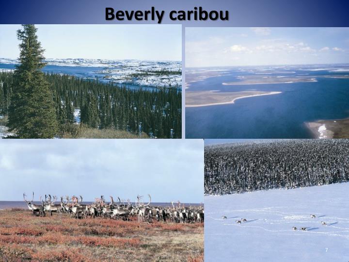 Beverly caribou
