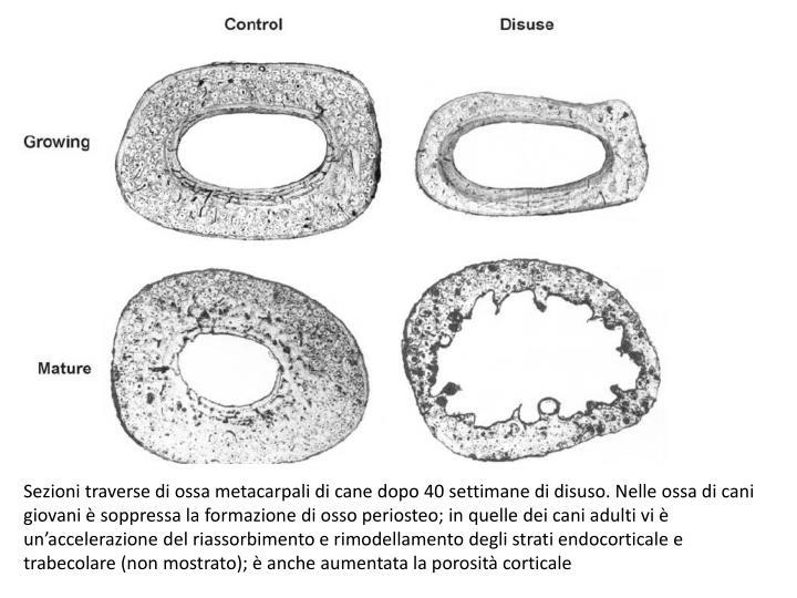 Sezioni traverse di ossa metacarpali di cane dopo 40 settimane di disuso. Nelle ossa di cani giovani è soppressa la formazione di osso periosteo; in quelle dei cani adulti vi è un'accelerazione del riassorbimento e rimodellamento degli strati endocorticale e trabecolare (non mostrato); è anche aumentata la porosità corticale