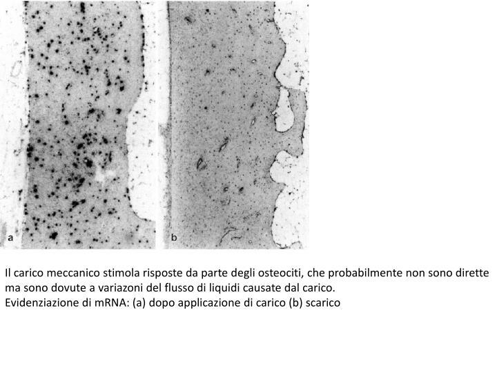 Il carico meccanico stimola risposte da parte degli osteociti, che probabilmente non sono dirette ma sono dovute a