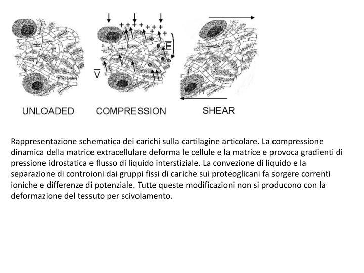 Rappresentazione schematica dei carichi sulla cartilagine articolare. La compressione dinamica della matrice extracellulare deforma le cellule e la matrice e provoca gradienti di pressione idrostatica e flusso di liquido interstiziale. La convezione di liquido e la separazione di