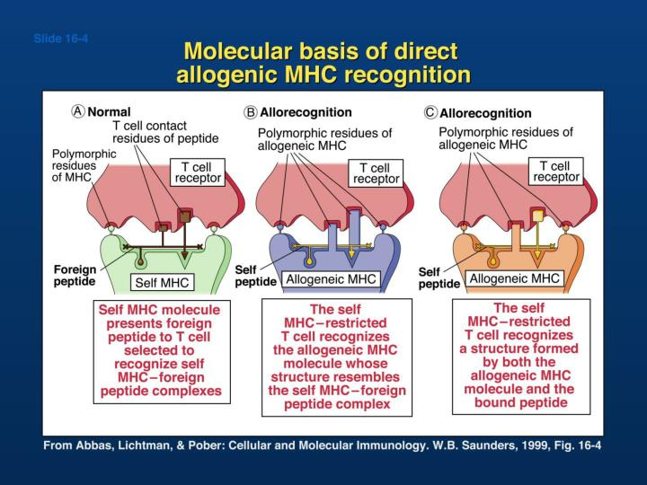 Molecular basis of direct allogeneic MHC recognition
