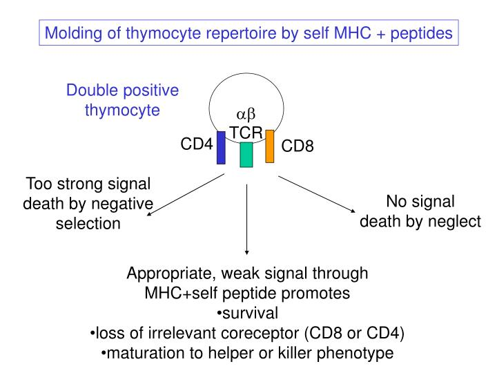 Molding of thymocyte repertoire by self MHC + peptides