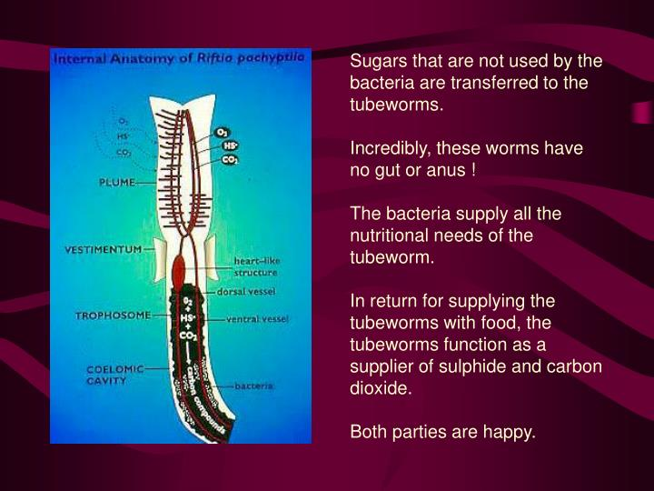 Sugars that are not used by the bacteria are transferred to the tubeworms.