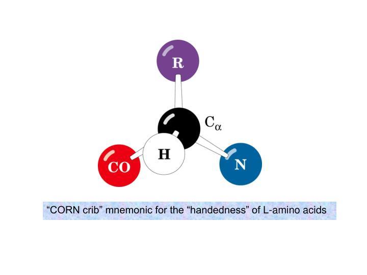 """CORN crib"" mnemonic for the ""handedness"" of L-amino acids"