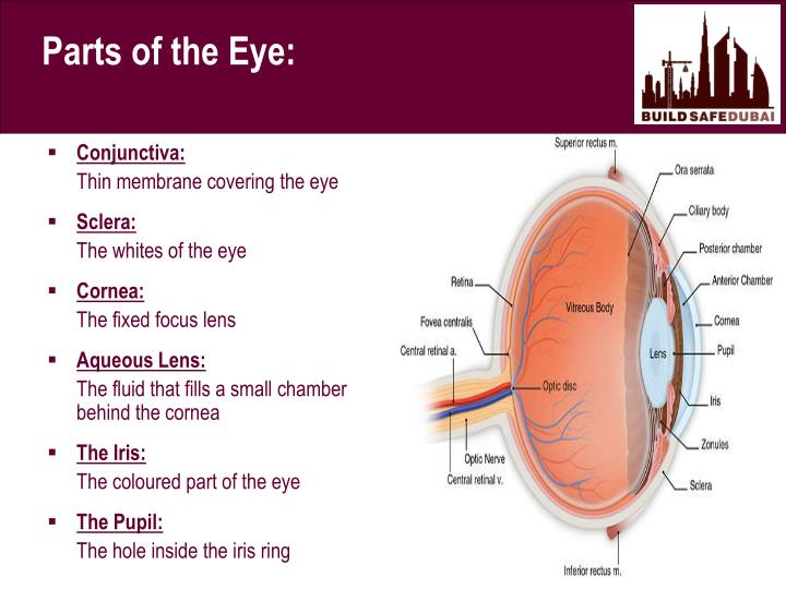 Parts of the Eye: