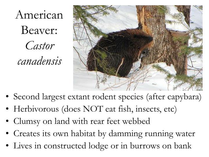 American Beaver: