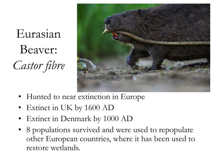 Eurasian Beaver: