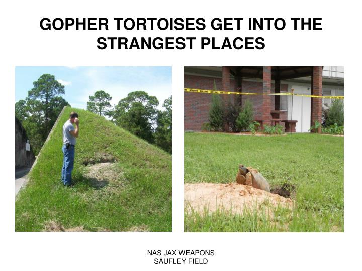 GOPHER TORTOISES GET INTO THE STRANGEST PLACES