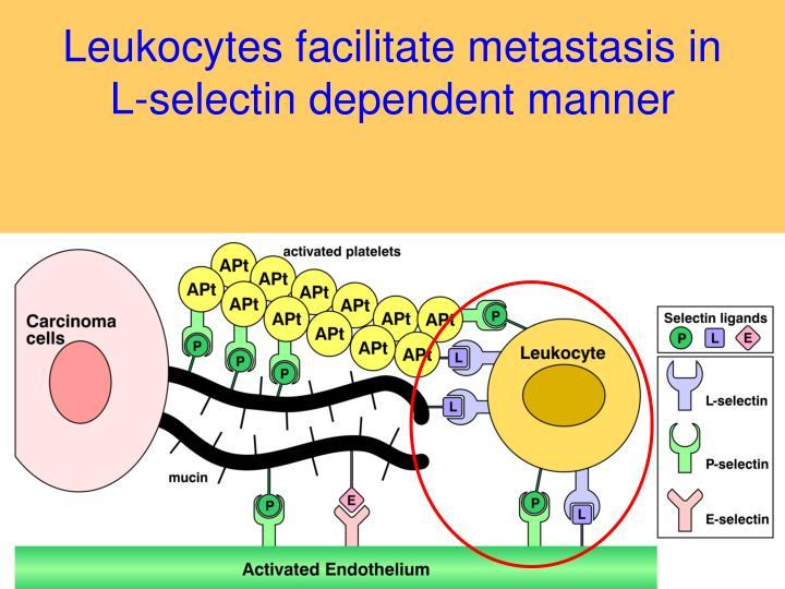 Leukocytes facilitate metastasis in L-selectin dependent manner