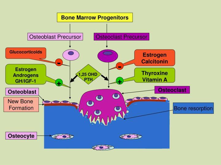 Bone Marrow Progenitors