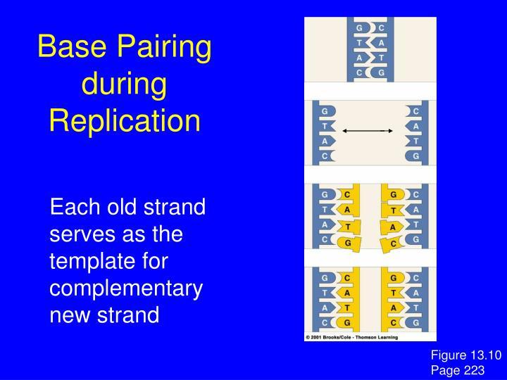 Base Pairing during Replication