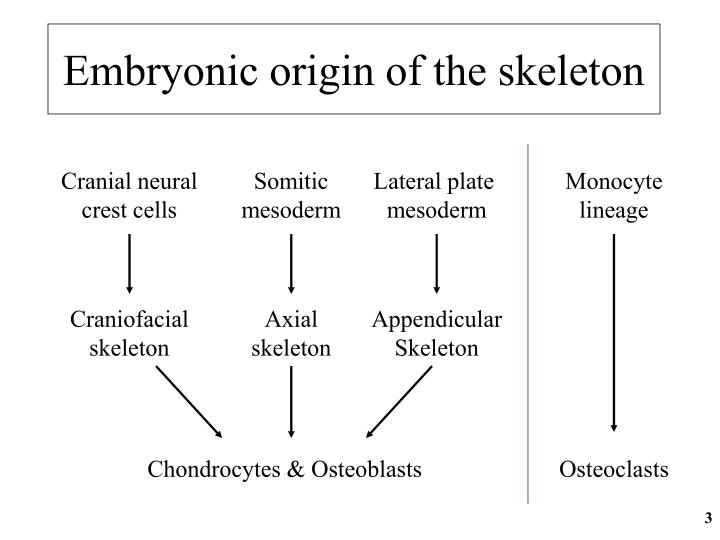 Embryonic origin of the skeleton