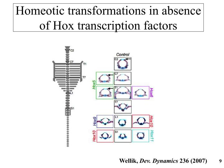 Homeotic transformations in absence of Hox transcription factors