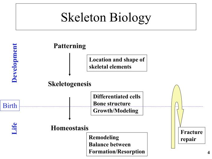 Skeleton Biology