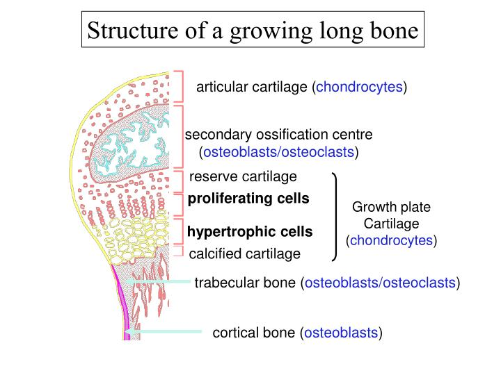Structure of a growing long bone