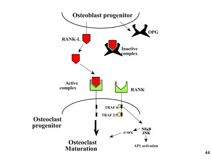Osteoblast progenitor