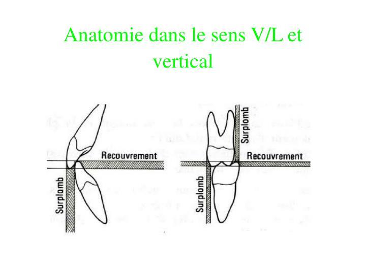 Anatomie dans le sens V/L et vertical
