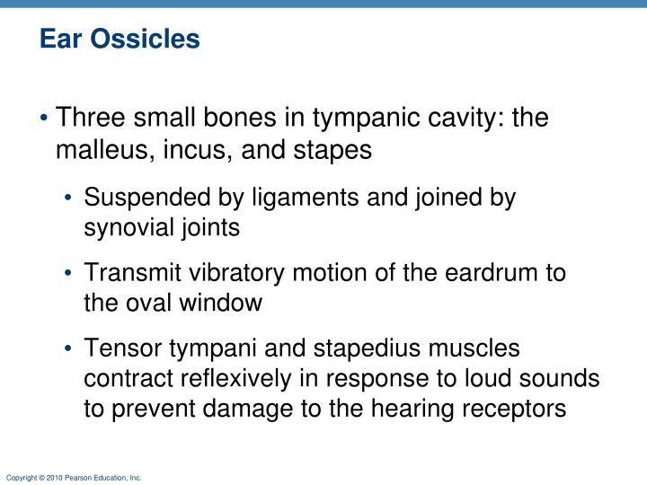 Ear Ossicles