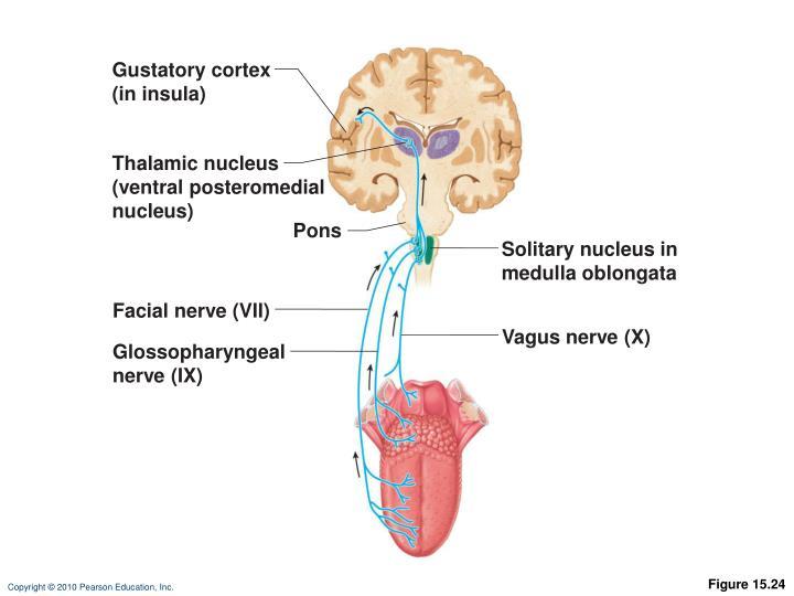Gustatory cortex