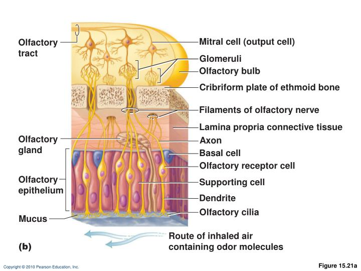 Mitral cell (output cell)