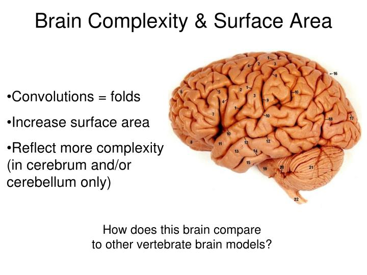 Brain Complexity & Surface Area