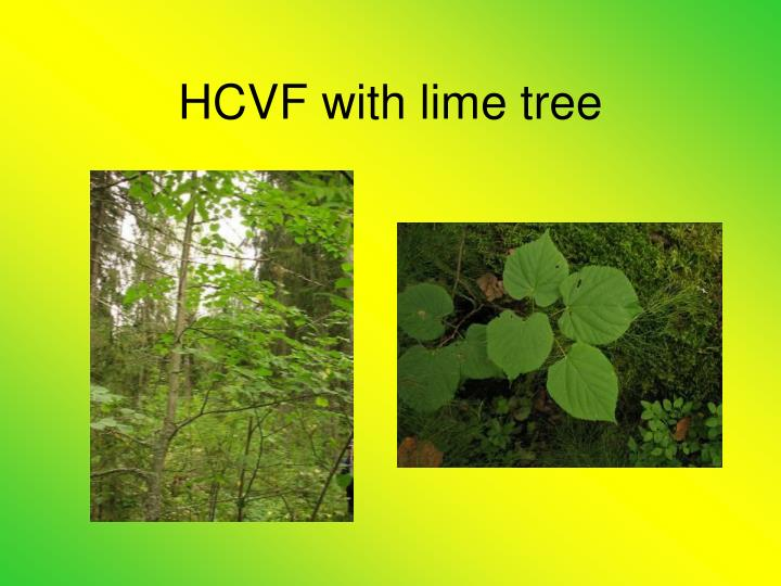 HCVF with lime tree