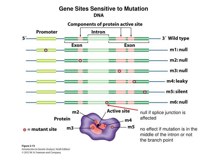 Gene Sites Sensitive to Mutation