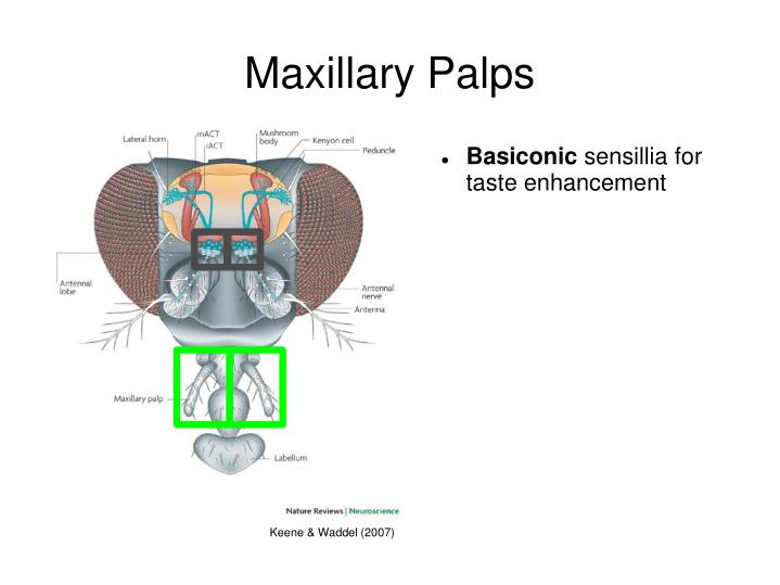 Maxillary Palps