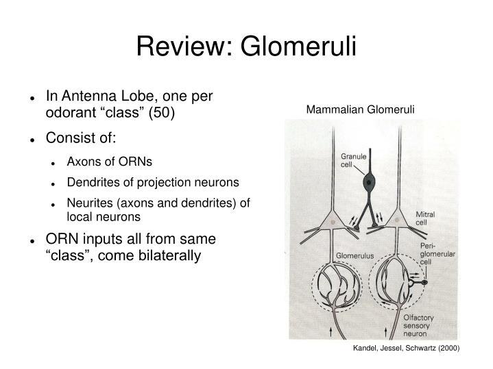 Review: Glomeruli