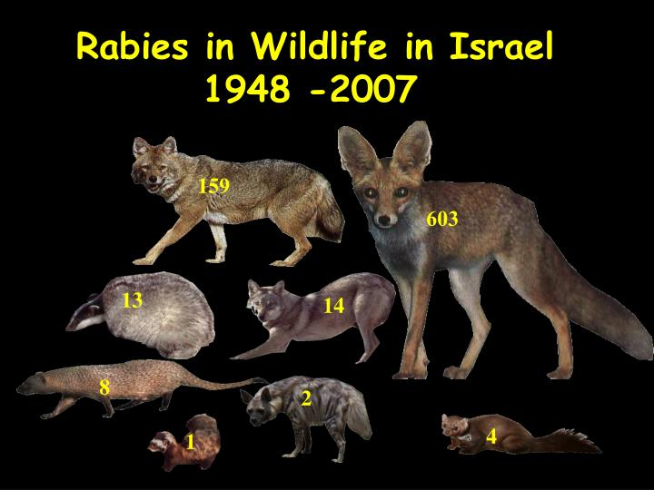 Rabies in wildlife in israel 1948 2007
