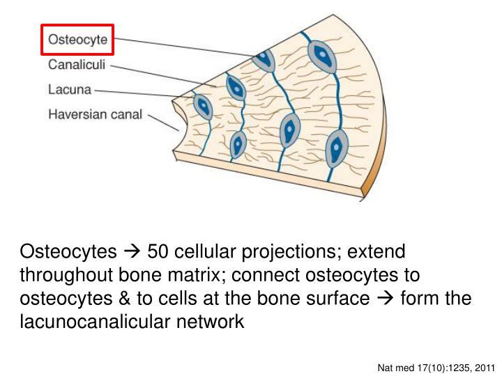 Osteocytes