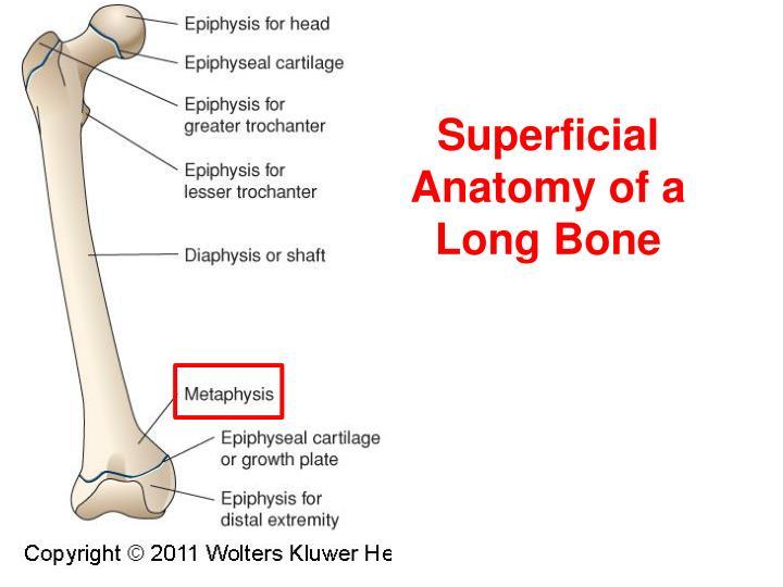 Superficial Anatomy of a Long Bone