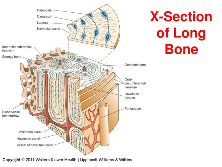 X-Section of Long Bone