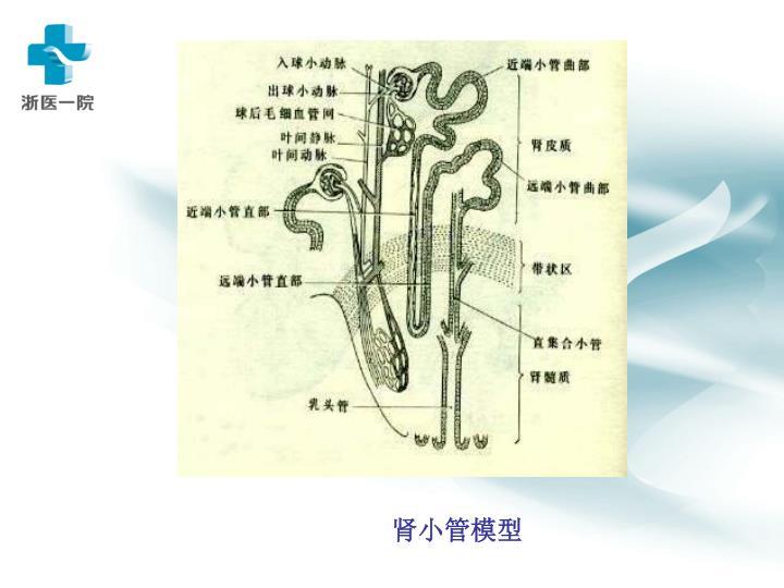 肾小管模型