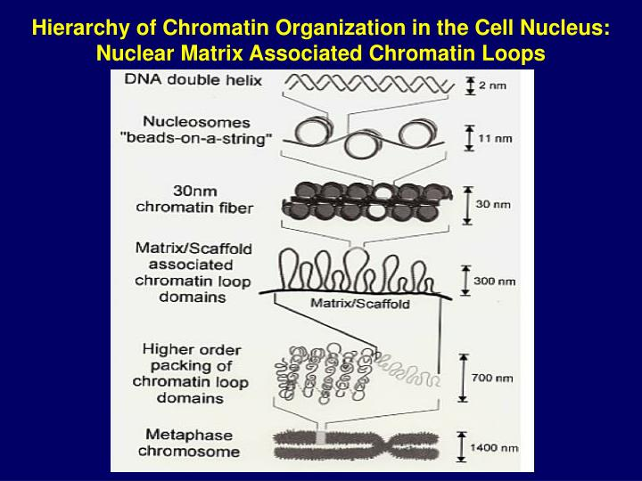 Hierarchy of Chromatin Organization in the Cell Nucleus: