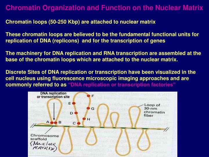 Chromatin Organization and Function on the Nuclear Matrix