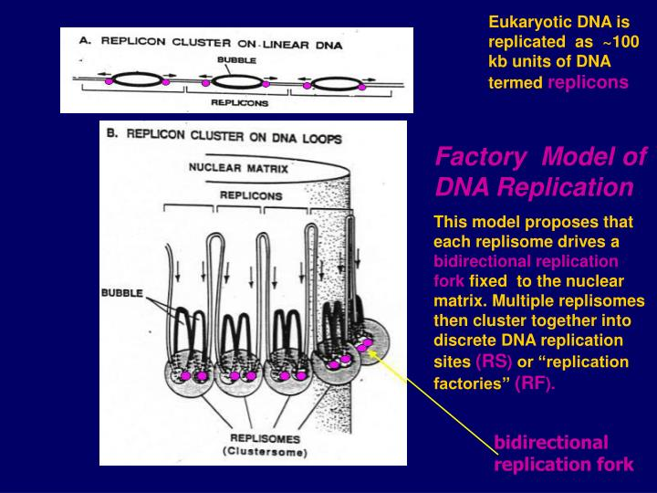 Eukaryotic DNA is replicated  as