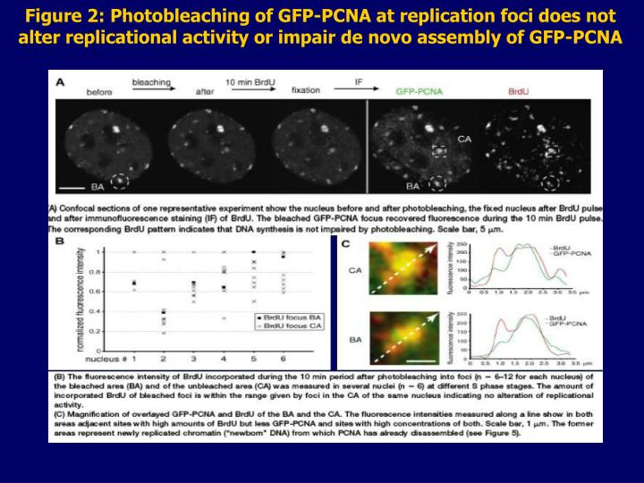 Figure 2: Photobleaching of GFP-PCNA at replication foci does not alter replicational activity or impair de novo assembly of GFP-PCNA