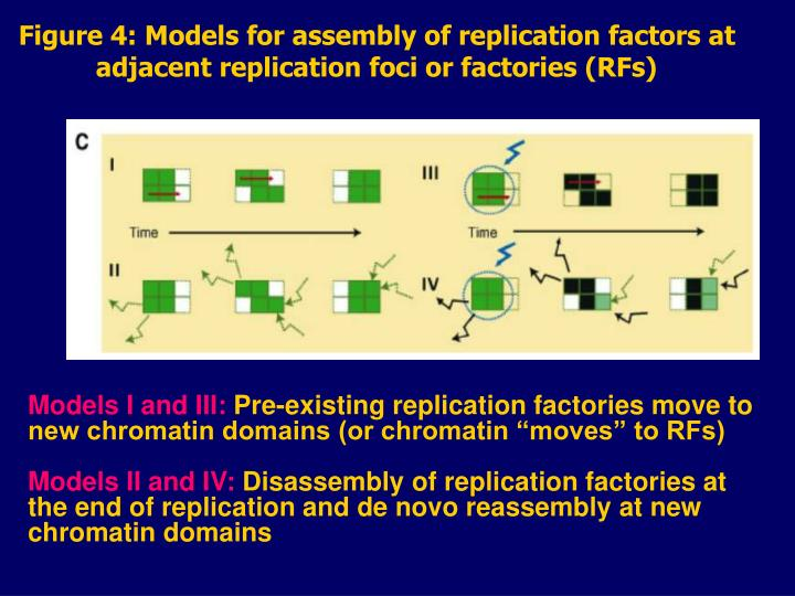 Figure 4: Models for assembly of replication factors at adjacent replication foci or factories (RFs)