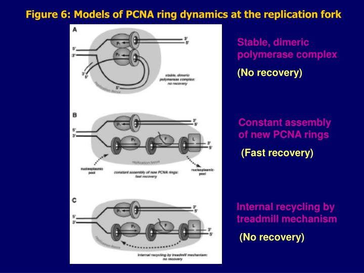 Figure 6: Models of PCNA ring dynamics at the replication fork