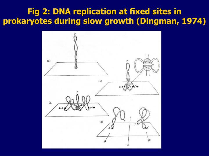 Fig 2: DNA replication at fixed sites in prokaryotes during slow growth (Dingman, 1974)